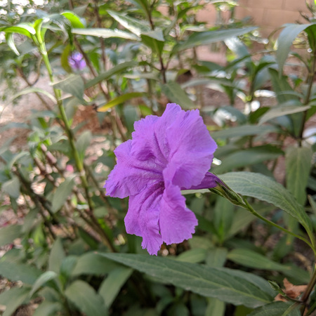 Purple Mexican petunia also known as Brittons wild petunia or Mexican bluebell native to Mexico and US Southwest (Ruellia simplex)