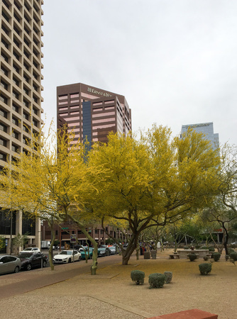 PHOENIX, AZ, USA - APRIL 16, 2018: Palo Verde or Parkinsonia aculeata tree golden crone with blooming yellow flowers in Phoenix downtown, Arizona capital city