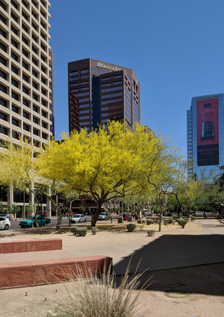 PHOENIX, AZ, USA - APRIL 18, 2018: Palo Verde or Parkinsonia aculeata tree golden crone with blooming yellow flowers in Phoenix downtown, Arizona capital city