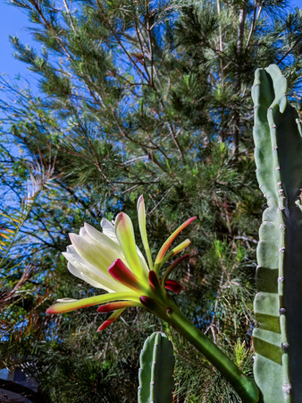 Arizona spineless cactus night blooming flower is about to close for the day in early Spring morning
