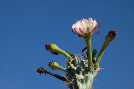 Night blooming flower of Cereus cactus is about to close for the day in early Spring morning Stock Photo