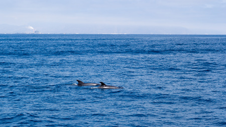 Dolphin couple swimming in open ocean waters near Ventura coast, Southern California