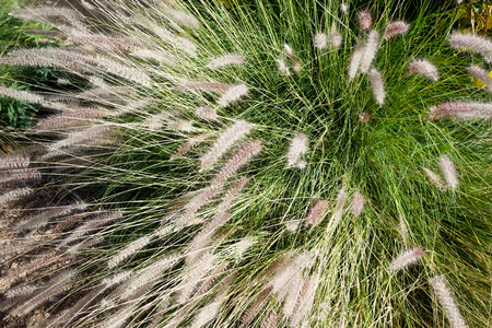 Dense and robust clumping Fountain grass growing in Arizona residential suburban roadside Zdjęcie Seryjne - 103362481