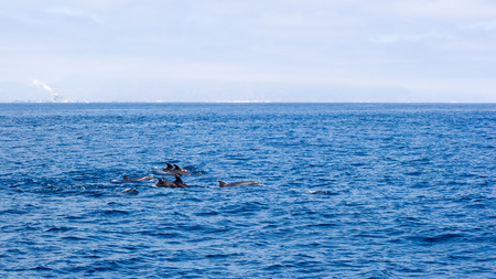 Playful dolphin family swimming in open ocean waters near Ventura coast, Southern California