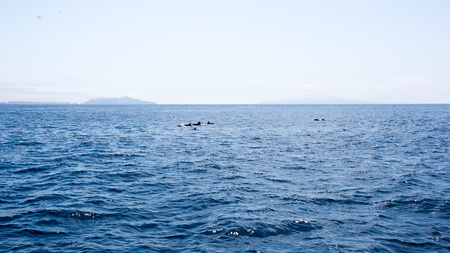 Playful dolphins swimming in  ocean waters near Channel Islands, Southern California Zdjęcie Seryjne