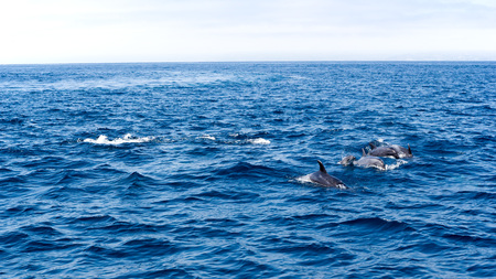 Playful dolphins swimming in open ocean waters near Ventura coast, Southern California Zdjęcie Seryjne - 103593292
