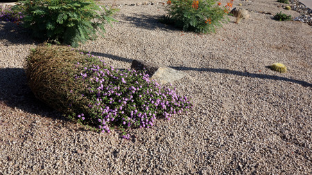 Xeriscaping with native desert drought tolerant succulents and cacti  in the streets of capital Arizona city of Phoenix