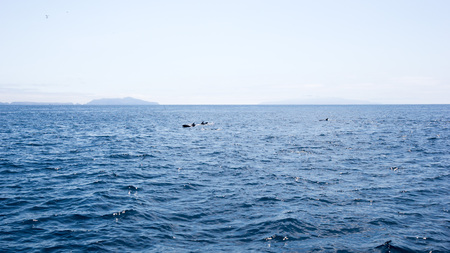 Playful dolphins swimming in  ocean waters near Channel Islands, Southern California Zdjęcie Seryjne - 103595825