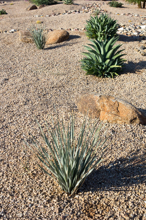 Desert landscaping with native drought tolerant Agave succulents, golden barrel cacti, natural boulder and rocks in Phoenix, Arizona Zdjęcie Seryjne - 103595826