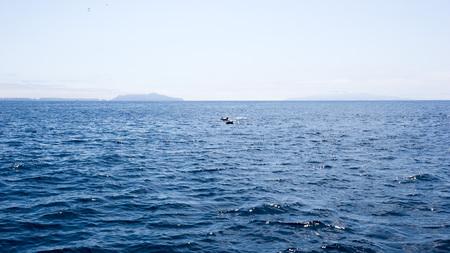 Playful dolphins swimming in  ocean waters near Channel Islands, Southern California Zdjęcie Seryjne - 104645618