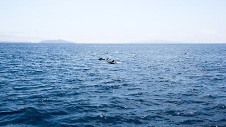 Playful dolphins swimming in  ocean waters near Channel Islands, Southern California Zdjęcie Seryjne - 103923934