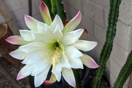 Night blooming flower of Cereus cactus is about to close for the day in early Spring morning Zdjęcie Seryjne