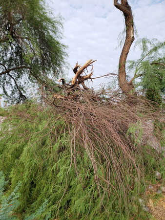 Broken trunk of an old mesquite tree after annual summer monsoon storm in Phoenix, Arizona