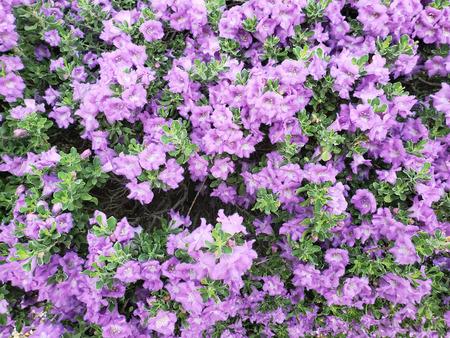 Desert Salvia arizonica or purple  blue Arizona sage foliage Zdjęcie Seryjne - 115271413