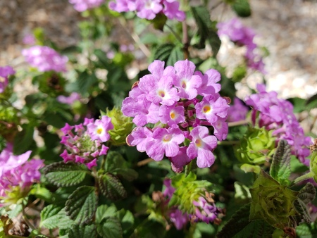 Flowering low rise shrub of Lantana Montevidensis used in desert style xeriscaping