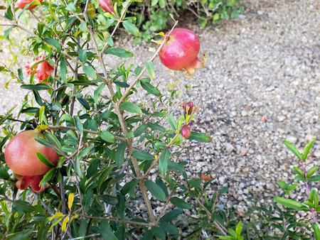 Red fruits and flower buds on dwarf pomegranate shrub Zdjęcie Seryjne