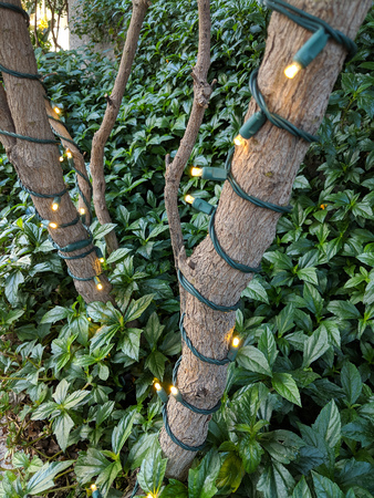 Holiday ornamental electric light string winded around oleander trunk Zdjęcie Seryjne - 115271430