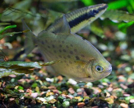 Spotted Silver Dollar fish in freshwater tropical densely planted aquarium (blurred Flying Fox fish in a  background) Zdjęcie Seryjne