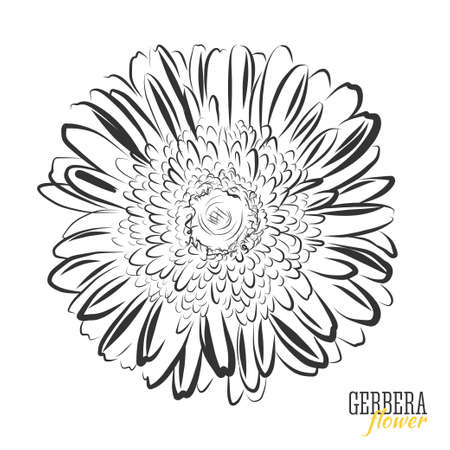 gerbera: Hand drawn Gerbera flower sketch. Black and white