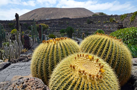 Cactus known as the mother-in-law cushion in the cedar of the cactus garden in Guatiza, Lanzarote, Canary Islands.