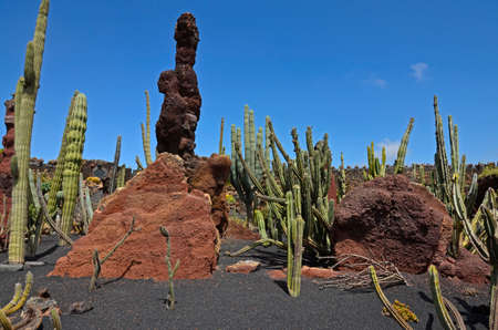 contrastive: A cactus garden on Lanzarote with cactuses of unique shape and species. Red rocks and black volcanic soil in the background.