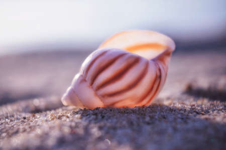 white and brown snail seashell on a beach sand