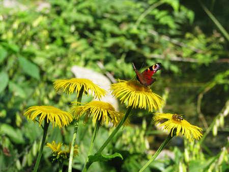 Butterfly and bee on a dandelion Zdjęcie Seryjne