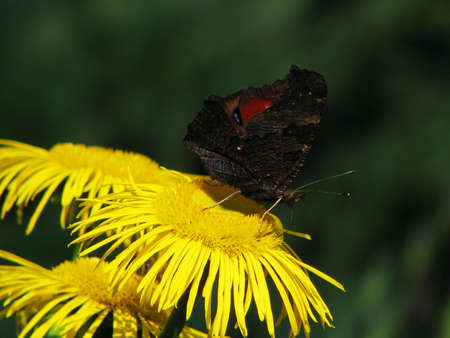 Black butterfly on a yellow flower