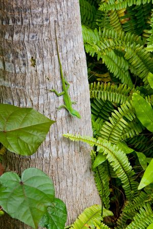 chameleon lizard: green chameleon (lizard) with long tail on tree trunk surrounded by ferns and foliage