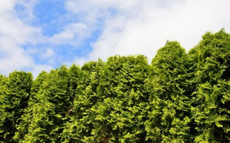 arborvitae: Hedge of Arborvitae trees, patch of blue sky of above Stock Photo