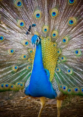 Peacock showing plumage.