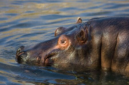blubber: Hippo with pink eyes swimming in the water