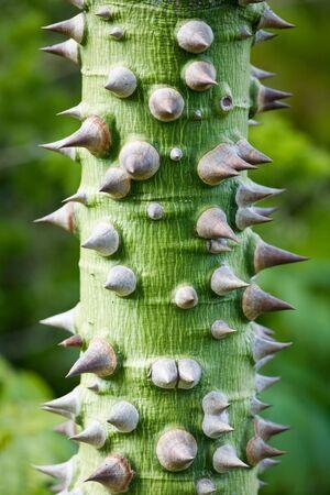 trunk  tree: Tropical verde tronco de �rbol cubierto de grandes espinas fuerte (FLOSS �rbol de la Seda).
