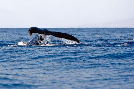 baleen whale: Cola de la ballena jorobada sobre el agua  Foto de archivo