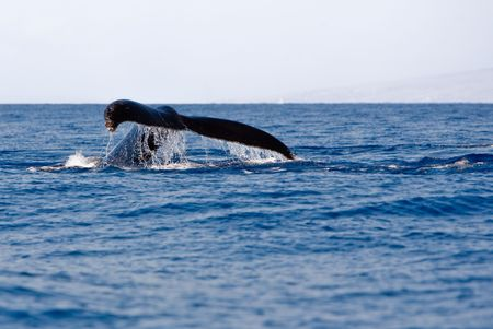 Tail of Humpback Whale above the water photo