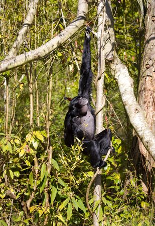 Black Singing Siamang hanging on to branch in a tree.
