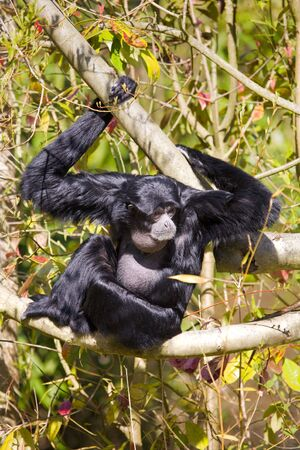siamang: Black Singing Siamang sits in tree