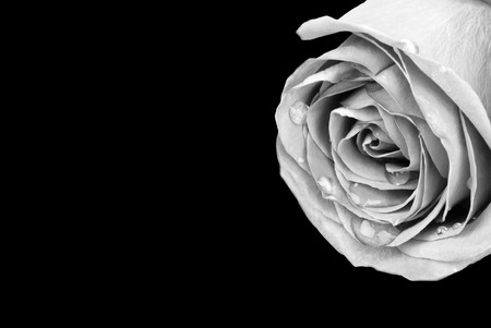 Black and White photo of rose bulging with water droplets isolated on black background (with path)