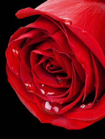 Macro of red rose bulging with water droplets isolated on black background (with path)