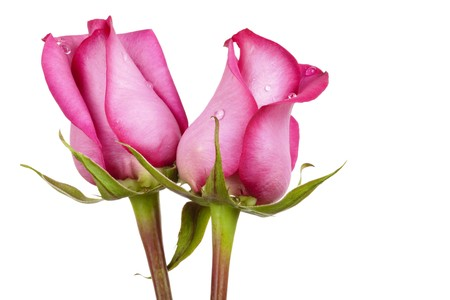Two beautiful pink roses with dew droplets (pink symbolizes new love) isolated on white background