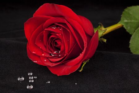 Beautiful full red rose laying across black velvet with water droplets spilled out in foreground