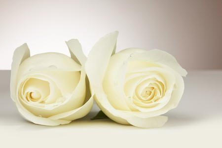 Close up of two beautiful white roses with dew drops on a white background with soft glow behind Stock Photo