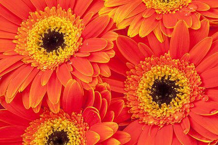 Background of bright orange gerber daisies with dew drops Stock Photo - 4226271