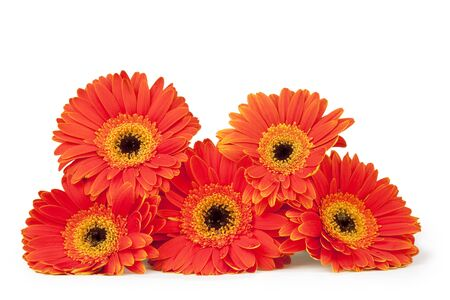 Five orange and yellow gerber daisies stacked, isolated on white with path