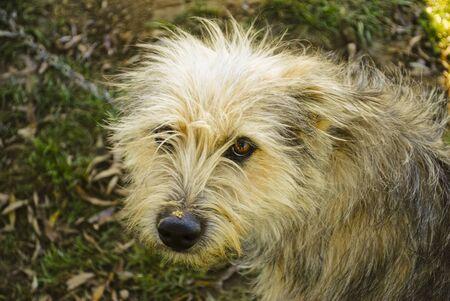 ojos tristes: Perro con ojos tristes Foto de archivo