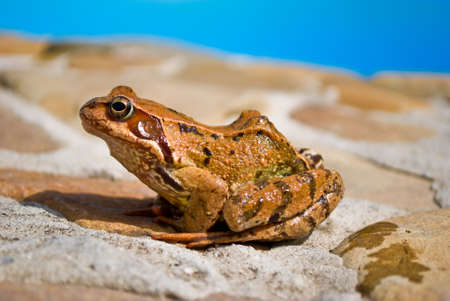 rana arvalis: Young moor frog is sitting on a stone Stock Photo