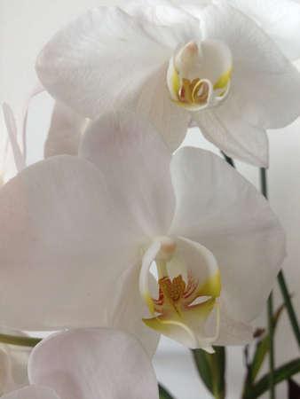 Twee witte orchideeën