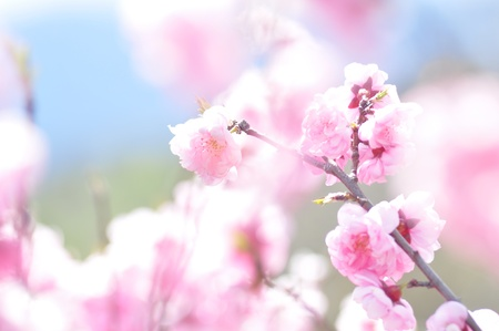 Pink flowers bloom photo