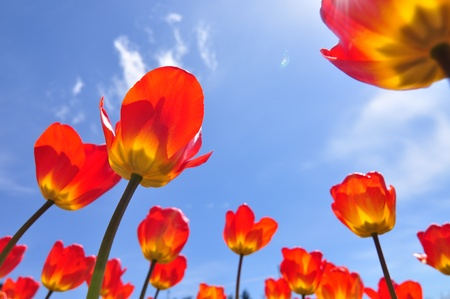 Red tulips on blue sky photo