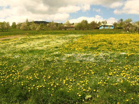 irish easter: Field of dandelions